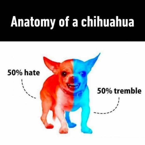 chihuahua puns anatomy of a chihuahua funny pictures quotes memes jokes 5419