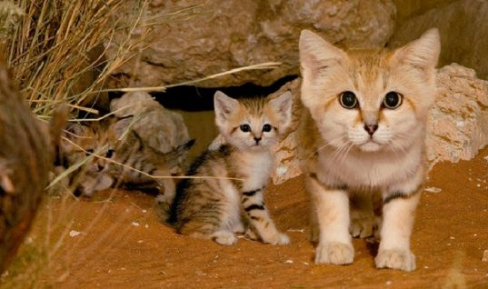 Sand Cats are the Peter Pan of Felines