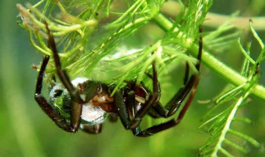 The Water Spider Lives Its Entire Life in an Air Bubble Underwater