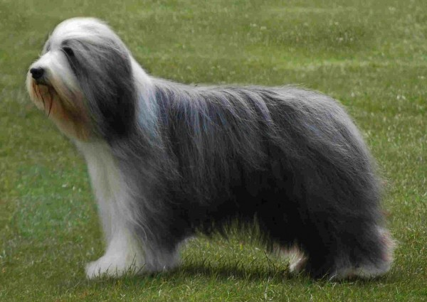Most expensive dogs, Bearded Collie