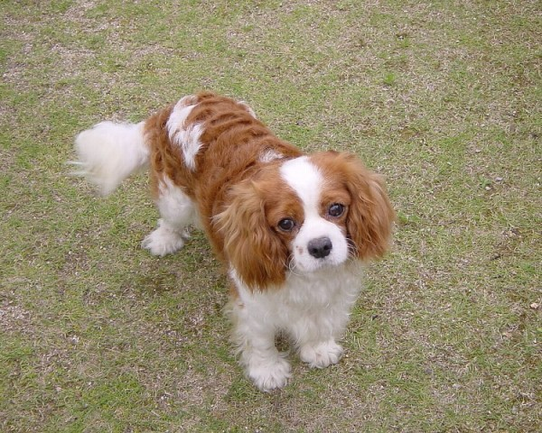 Most expensive dogs in the world, Cavalier King Charles Spaniel