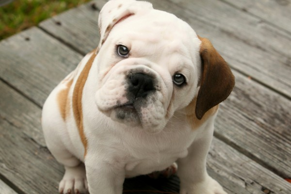 Most expensive dogs, English Bulldog