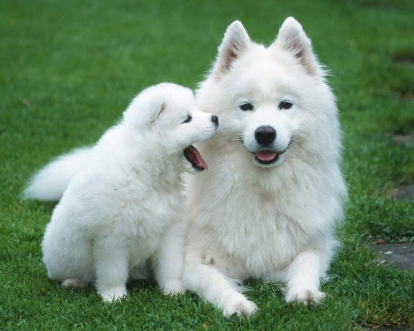 Most expensive dogs, the Samoyed