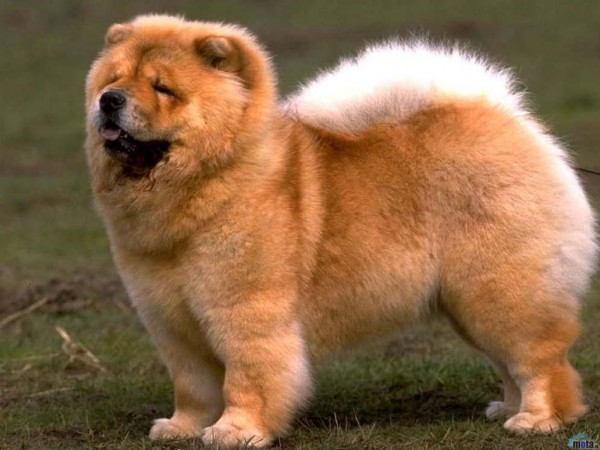 Most expensive dogs, Chow Chow