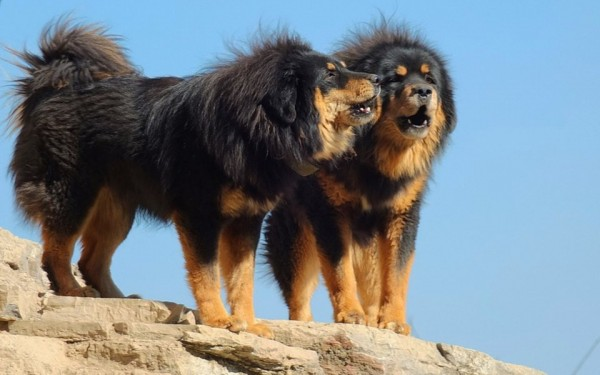 Most expensive dogs in the world, the Tibetan Mastiff