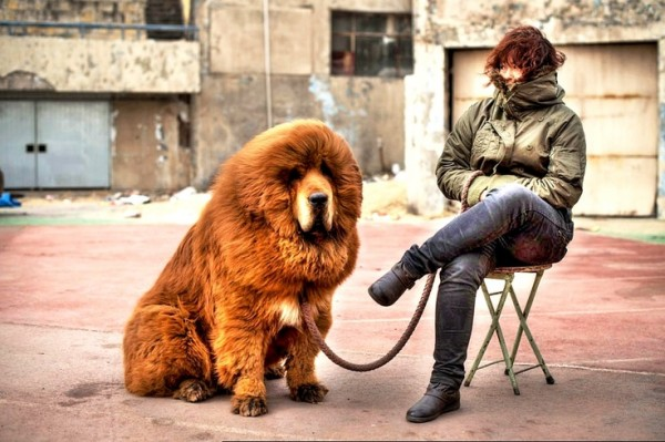 Most expensive dogs, the Tibetan Mastiff with owner