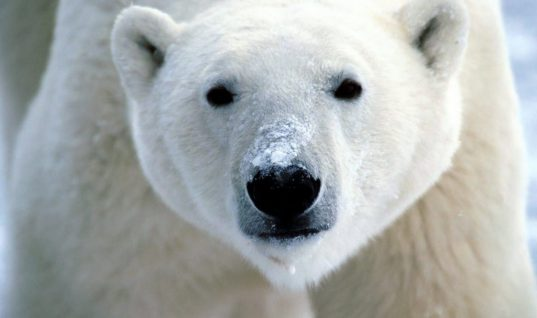 5 Less Known Facts about Polar Bears