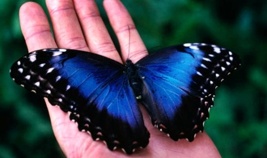 The Great Blue Morpho Butterfly