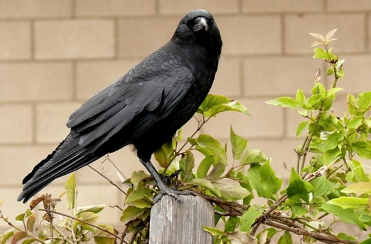 5 Amazing Facts About Crows